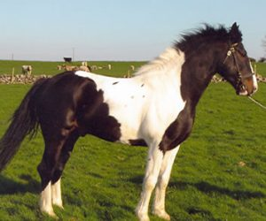 , Tobermore Dandy Patches, Leisure Horse Ireland, Leisure Horse Ireland