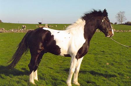 buy a pony in Ireland