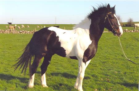 buy a horse Ireland