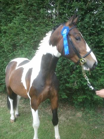 X Treme Talent Skewbald Horse