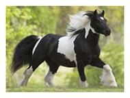 , Irish Piebald & Skewbald Studbook, Leisure Horse Ireland