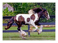 , Irish Piebald & Skewbald Studbook, Leisure Horse Ireland, Leisure Horse Ireland