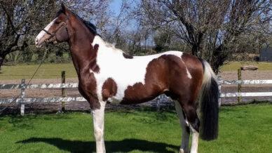 , Stallions At Stud, Leisure Horse Ireland