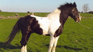 , Stallions At Stud, Leisure Horse Ireland, Leisure Horse Ireland